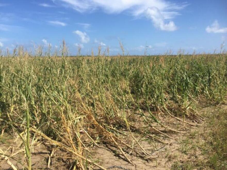 A field of crops that was damaged by Hurricane Maria.