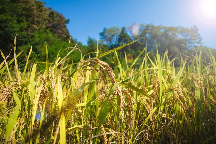 rice-1121001_1920.jpg