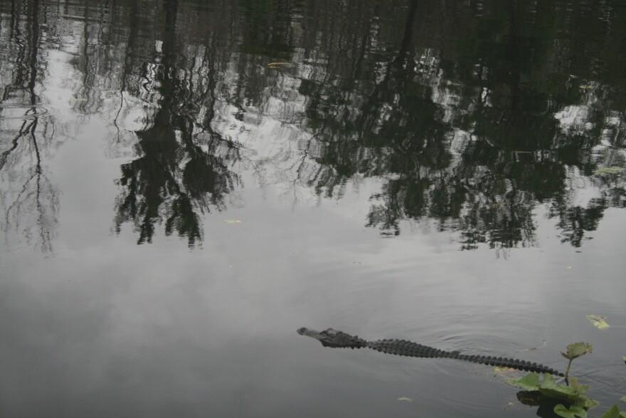gator_1.jpg