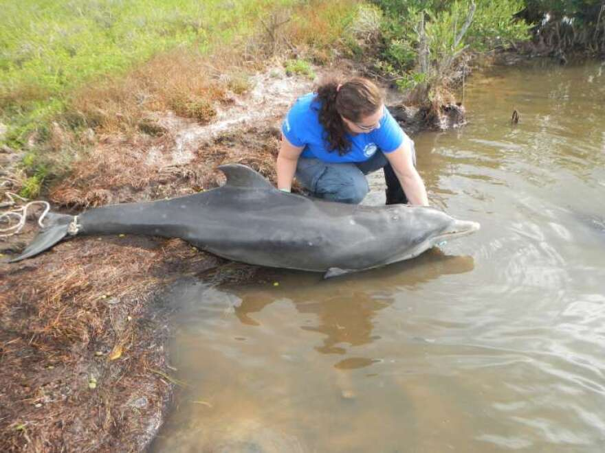 This deceased dolphin's ribs clearly are visible. It's not clear why the Indian River Lagoon's dolphins died of emaciation.