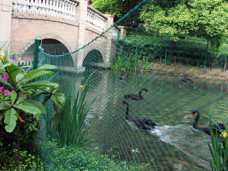 Management at a Shanghai apartment complex penned off a flock of black swans, just in case the birds got sick with H7N9.