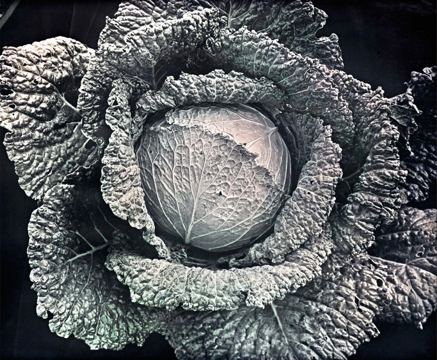 Vertus Savoy Cabbage