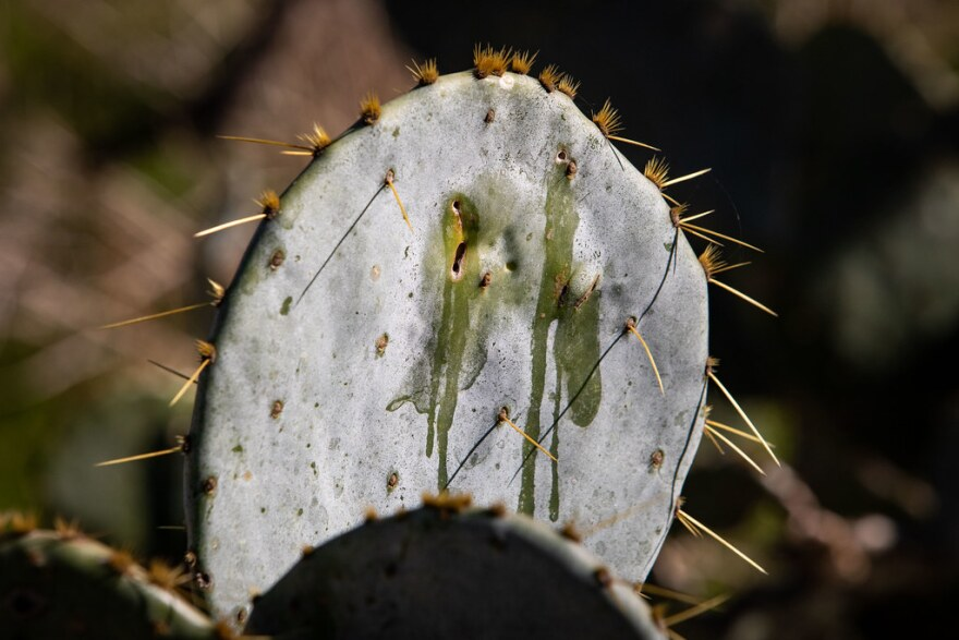 Scarred and damaged prickly pear cactus in far Southeast Austin. Also known as nopal cactus, these plants are bring threatened by the invasive cactus moth.
