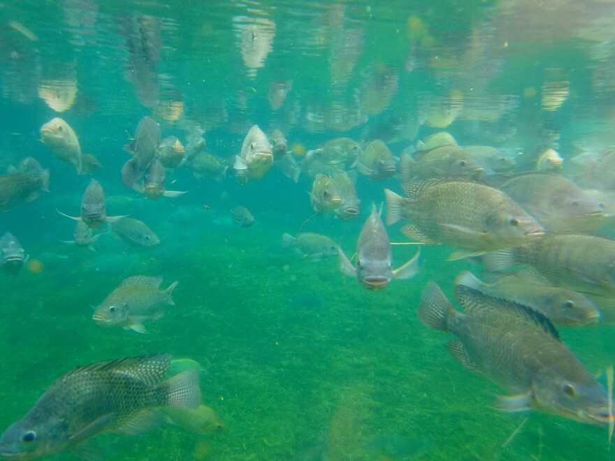 Many fish swimming toward the camera in blue-green water.