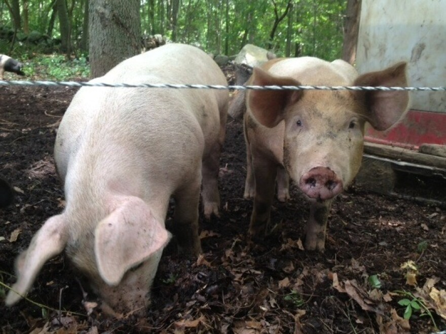 Two pigs root in the dirt at Pat McNiff's Rhode Island farm.