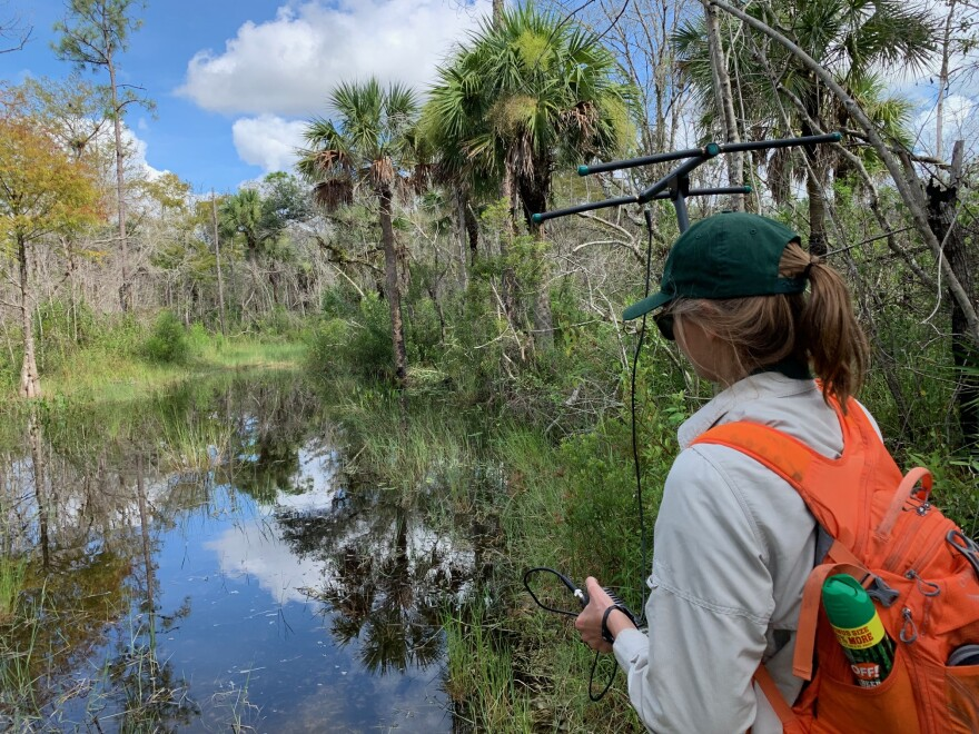 U.S. Geological Survey biologist Jill Josimovich heads into the Big Cypress National Preserve, using a radio transmitter to find a python implanted with a tracker.
