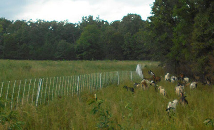 Goats grazing in a pasture at Mark Twain National Forest infested with the invasive species Sericea 12-25-19