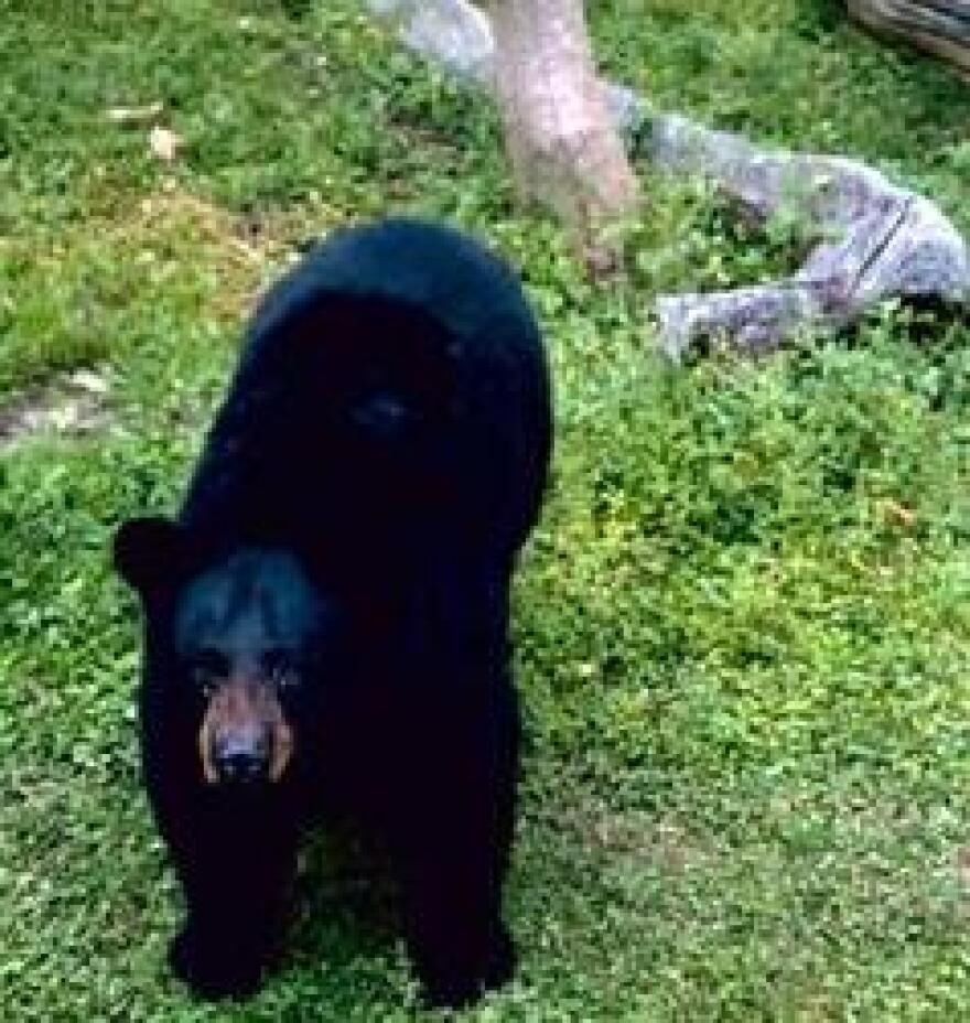 Black_Bear__agency_DOW_credit_US_fish_and_wildlife_service.jpg