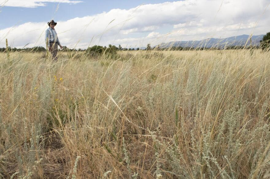 cheatgrass_field_1.jpg