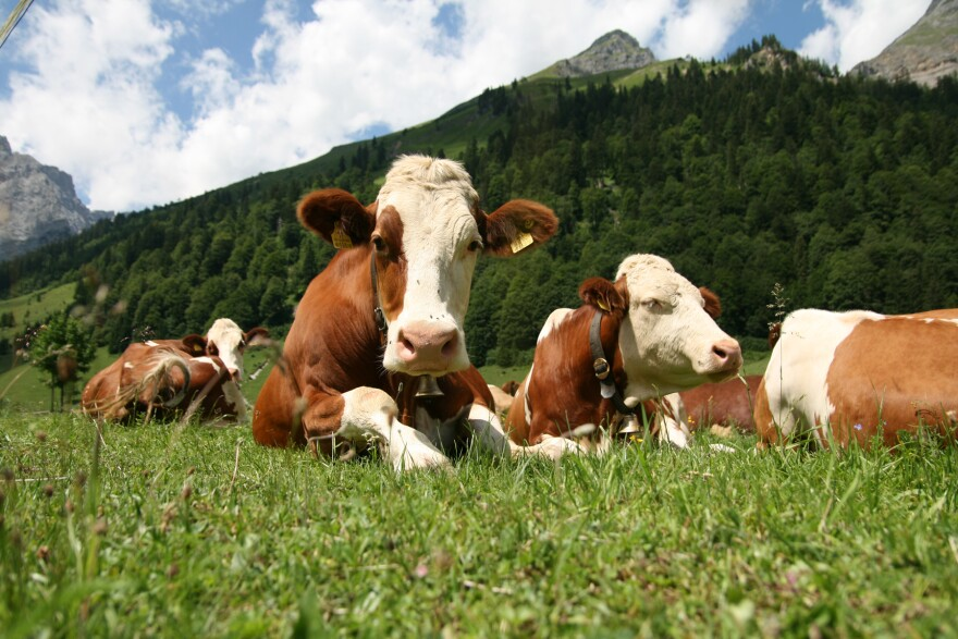 Cows on farm