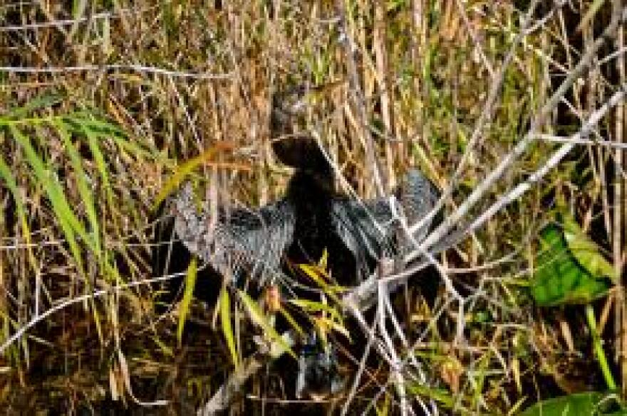 An anhinga dries its feathers in the Everglades National Park.