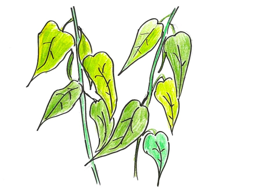 2. Green leaves of a bean plant.