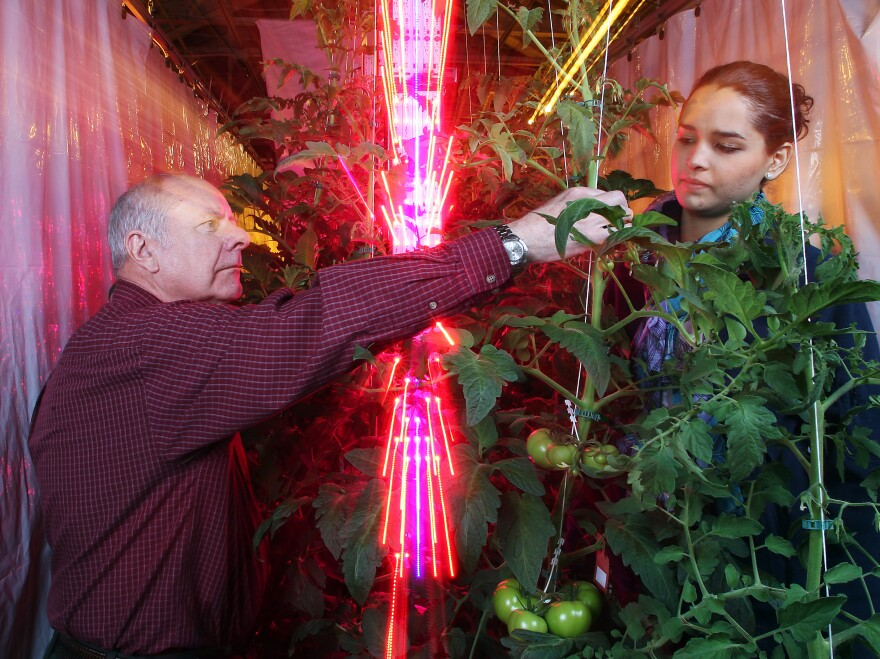 Cary Mitchell and Celina Gomez, of Purdue University, harvest tomatoes grown next to a tower of blue and red LEDs.