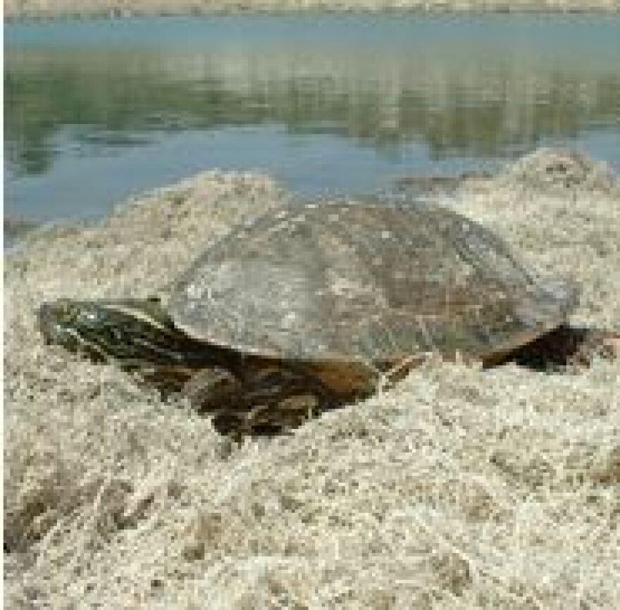 A Rio Grande cooter, type of turtle