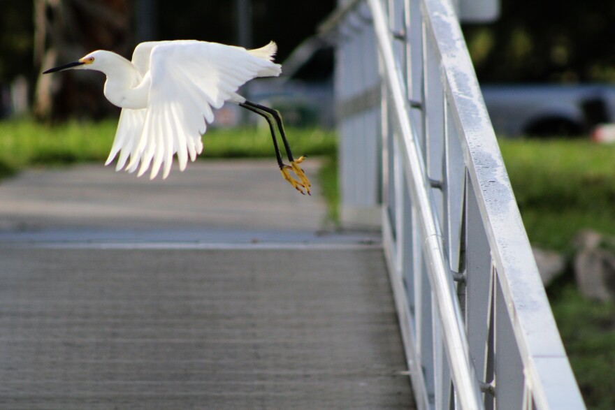 A bird flies at Anclote River Park
