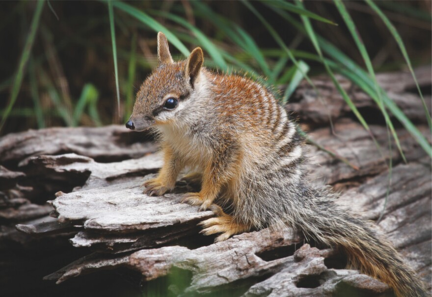 The Perth Zoo's numbats have produced 25 babies this year — a new record.