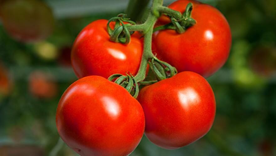 bushel_boy_tomatoes.jpg