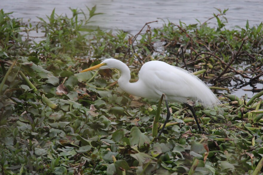 Bird Island in Elmendorf Lake was recently cleared of its nesting vegetation for cattle egrets.