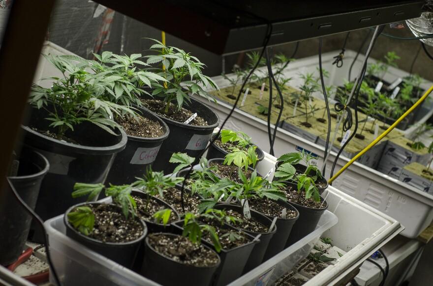 marijuana_grow.jpg