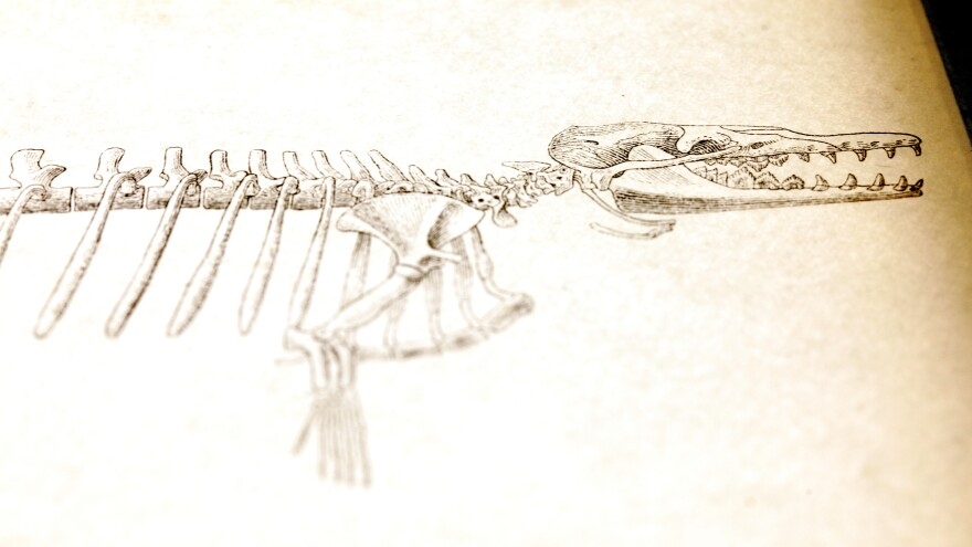A rendition of a proto-whale skeleton.