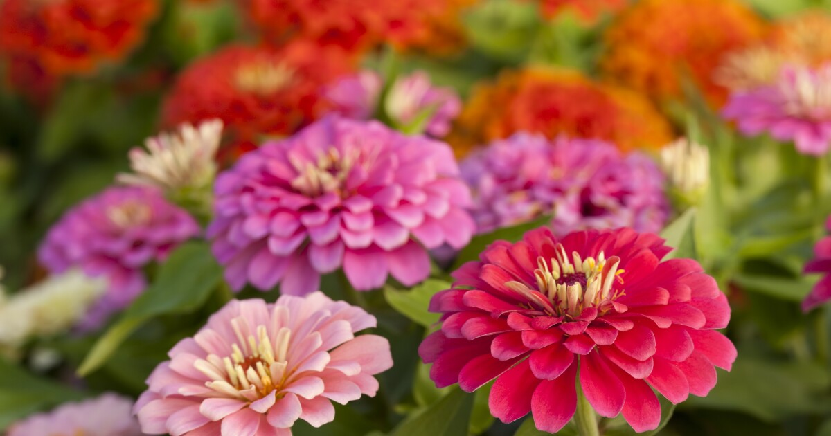 Seed-Save This Year's Zinnias For Planting Next Spring