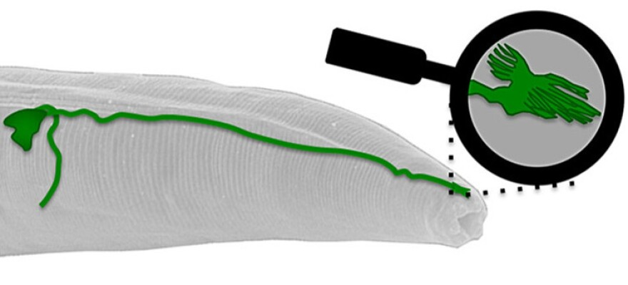 Researchers say that inside the head of the worm <em>C. elegans</em>, an antenna-like structure at the tip of the AFD neuron (highlighted in green) is the first identified sensor for Earth's magnetic field.