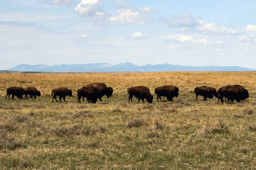 A herd of bison move through land controlled by the American Prairie Reserve south of Malta, Mont. (Matt Brown/AP)