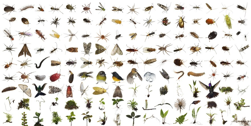 Part of the contents of One Cubic Foot, more than 150 different kinds of plants and animals were found in the Monteverde cube over 100 feet up in the canopy of a Strangler Fig Tree, Location: Monteverde Cloud Forest Biological Reserve, Costa Rica.