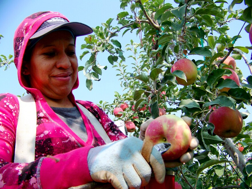 Maregarita Magana, 34, snips off the stem of an early Fuji apple in Chiawana Orchards near Pasco, Wash. State farmers worry that many apples might be left on the trees this year.