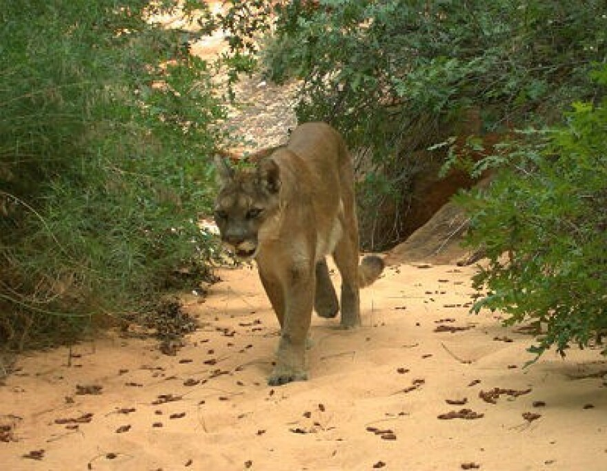 Photo of a cougar in Zion National Park.