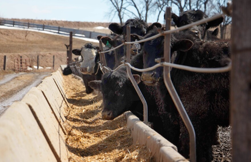 Cattle eating a mixture of antibiotic-free corn and hay at Corrin Farms, near Neola, Iowa. Their meat is sold by Niman Ranch.