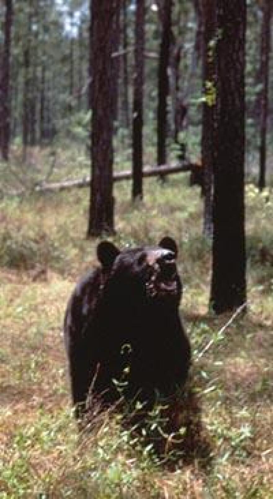 A two-day hunting season for Florida black bears claimed 304 of the iconic animals. Democratic lawmakers are calling for a 10-year hunting moratorium.