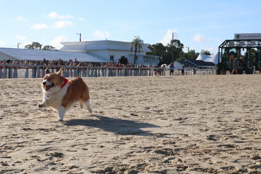 Corgi running.