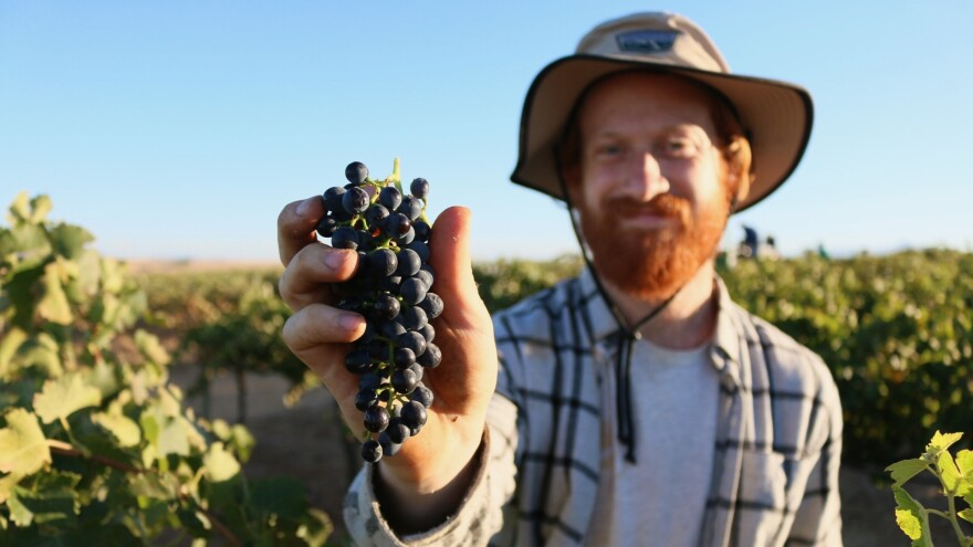 Charles Brain helps hand harvest grapes in a Shiraz vineyard in the Swartland wine region of South Africa. Lubanzi Wines, which was started by Brain and his partner, Walker Brown, earned its B Corp certification this year.