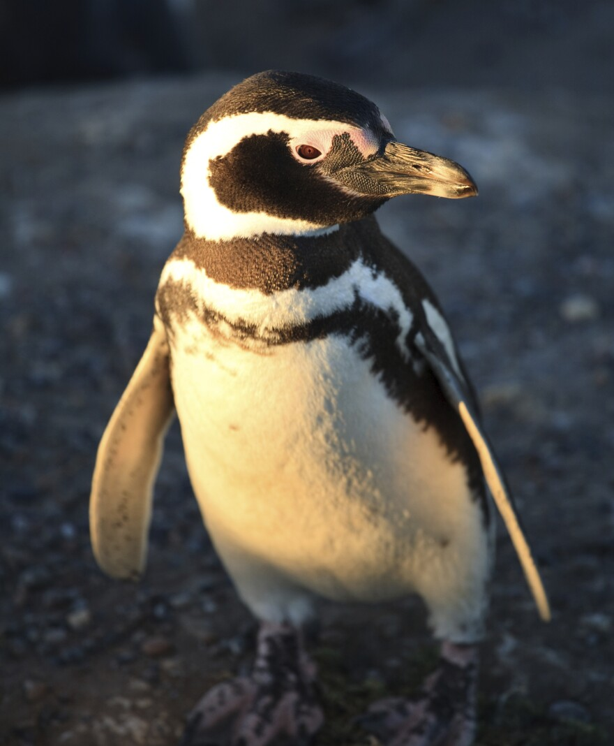 """Though quiet here, Magellanic penguins are widely known as """"jackass penguins"""" for their honking and braying."""