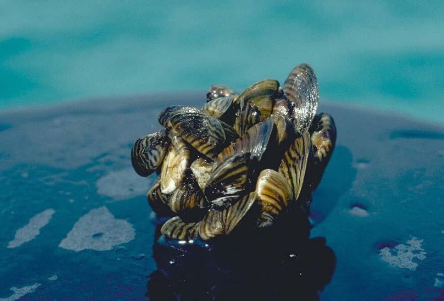 zebra_mussels.jpg
