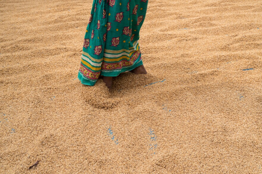 A woman walks through rice that is set out to dry before hulling begins. Most residents of Southern Assam's chars are landless farmers.