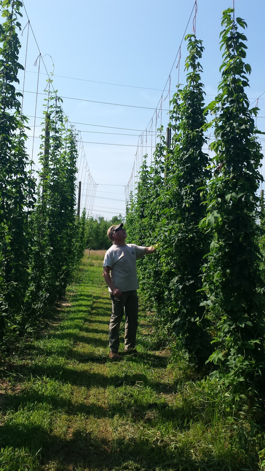 Dave Volkman inspects the fields at Ohio Valley Hops in Maineville.