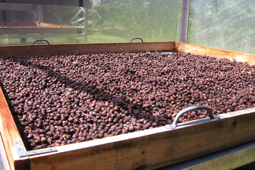 Finca Gripiñas dries its coffee beans in solar driers designed and built by owner Miguel Sastre.