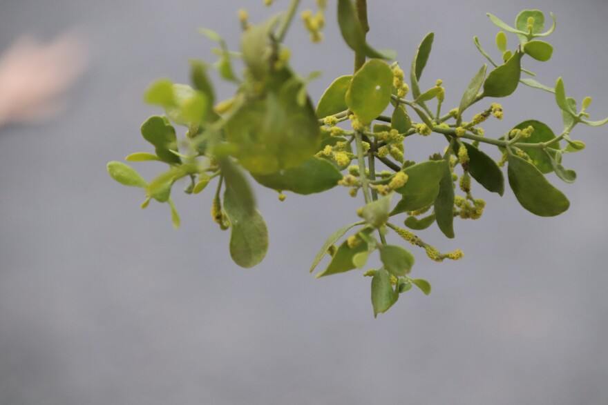 Mistletoe in its natural environment: the green, berry-filled plant hangs in a clump from branches of a live oak tree.