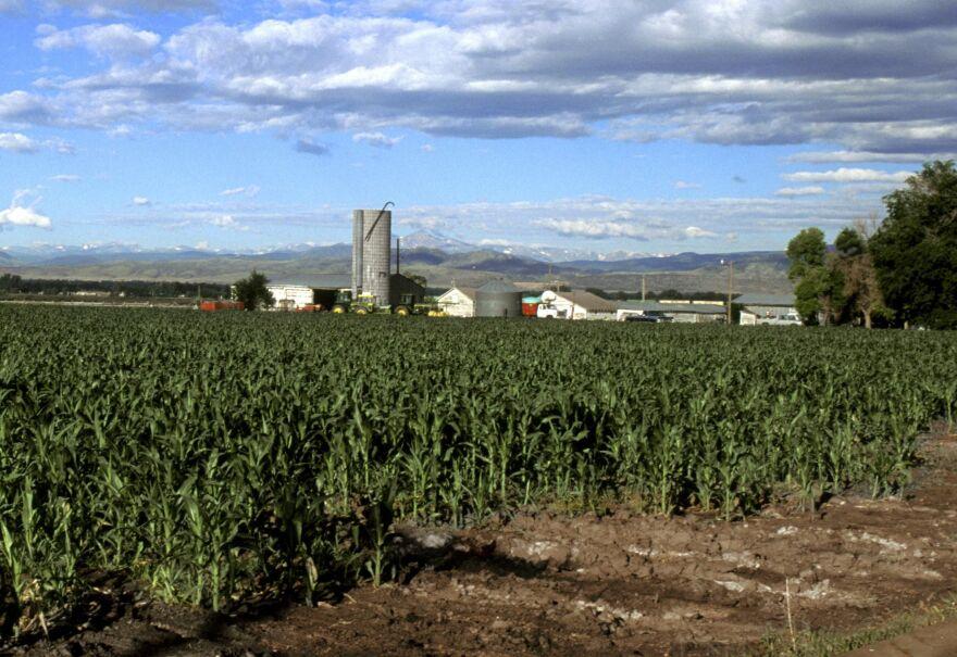 Corn field in Colorado