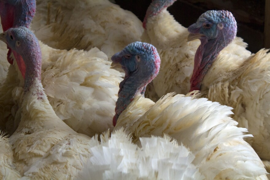 01142015Avian-flu-turkeys01.jpg