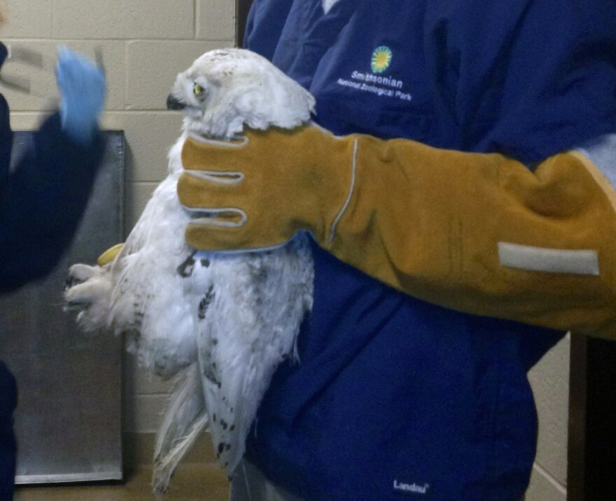 The snowy owl that has been spotted recently in the Washington D.C. area was brought to the Smithsonian's National Zoo for care on Thursday.