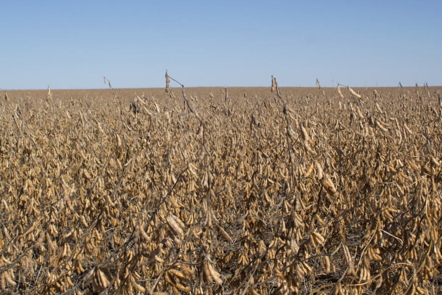 102118-am-soybeans_in_field.jpg