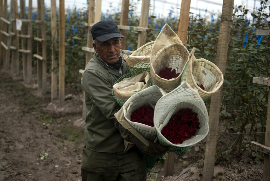 Most of America's Valentine's Day roses come from Colombia. Here, a worker carries bunches of roses for export at a farm in Nemocon, Colombia, on February 2, 2015. The Valentine's season represents 12% of the annual sales for Colombian flower growers.