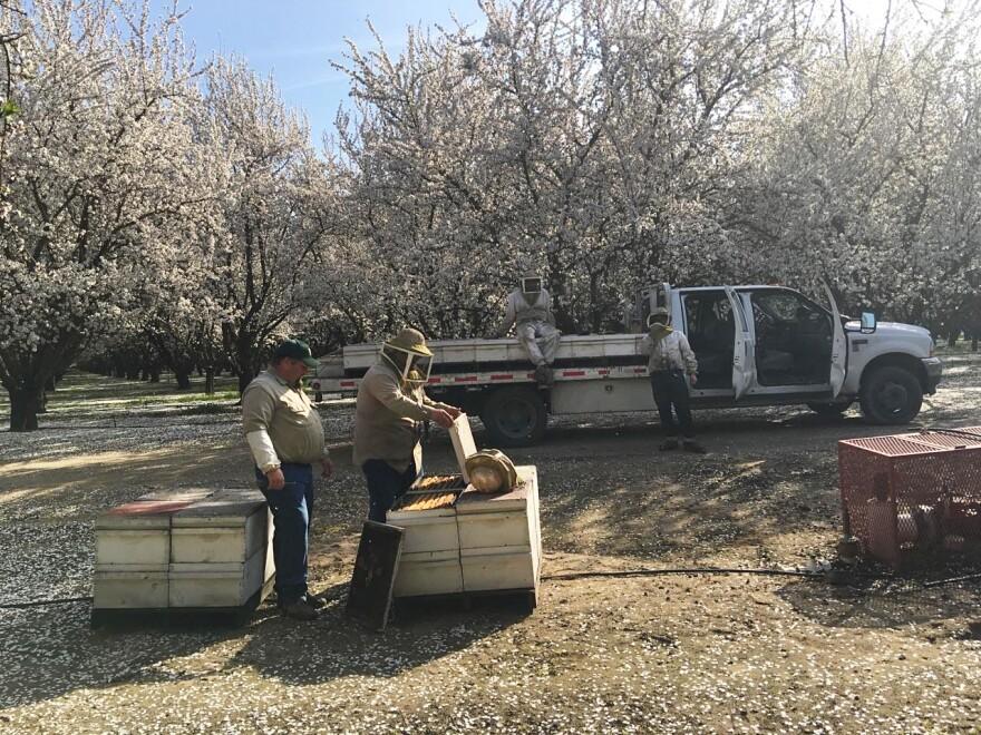 Earlier this year, beekeeper Brian Hiatt had millions of bees working to pollinate almond trees across California.