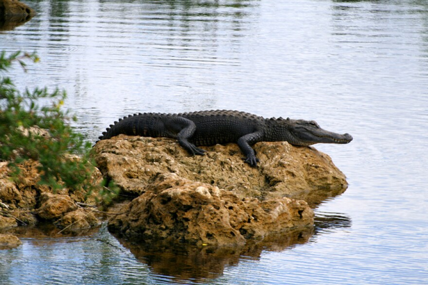An alligator hangs out on a rock in Everglades National Park.