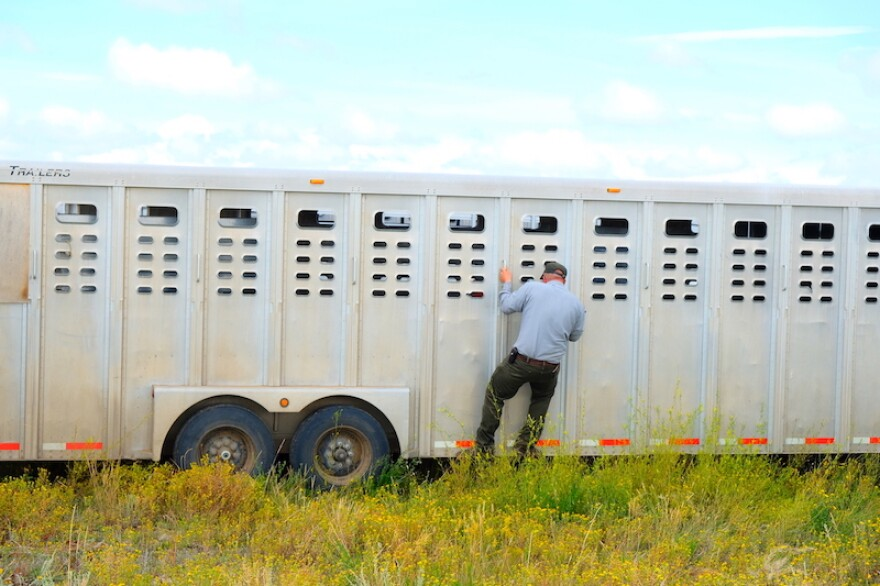 A Park Service official peeks into one of the trailers carrying bison at Fort Peck Indian Reservation, Montana, August 23, 2019.