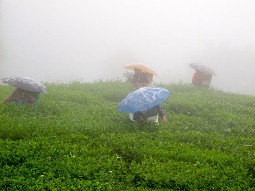 Pluckers on Jungpana Tea Estate during the monsoon, Darjeeling, India.