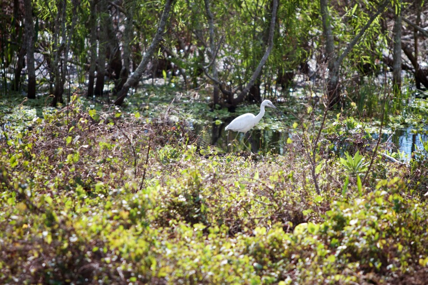 A little blue heron hunts for a snack at Arthur R. Marshall Loxahatchee National Wildlife Refuge on Jan. 30, 2018.